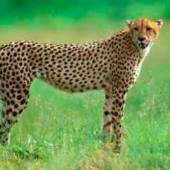 94 imagen guepardo