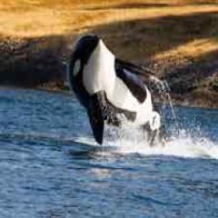 94 Respuestas imagen orca