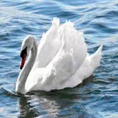 94% swan picture answers