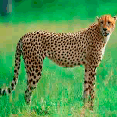 94 Cheetah picture answers