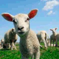 Lamb picture 94