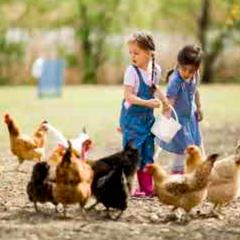 imagen comida gallinas 94