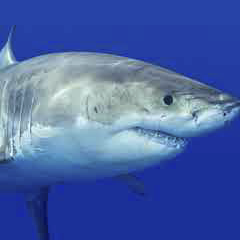 94 imagen tiburón