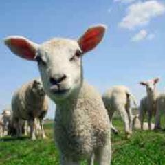 94 Respuestas imagen oveja