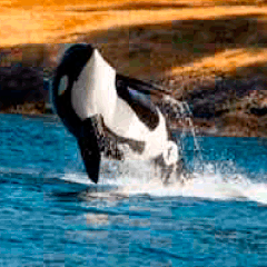 94 orca picture